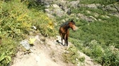 prasowanie : Brown wild horse with a black furry mane stands in the mountains on a sunny day.
