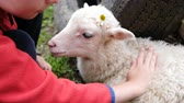 ovelha : Little boy is stroking a lamb with a flower, a child is playing with a sheep on a farm close-up