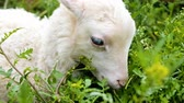 cattle breeding : White lamb chews fresh grass on a home farm