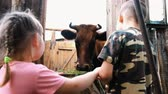 cow boy : Small children look at a horned cow standing in a stall on a farm