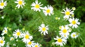 ромашка : Field daisies sway in the wind, slow motion