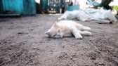 yalan : Cat sleeps on the ground, wakes up and slowly opens its eyes close-up, camera movement, slow motion Stok Video