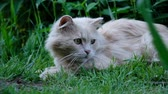 捕食性の : Beautiful cat playing with grass close up in nature, slow motion