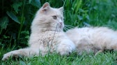bej : Beautiful cat playing with grass close up on nature, catching with paws on the ground, slow motion Stok Video