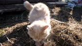 捕食性の : Cat digs a place for a toilet, bury hay with its paws, slow motion 動画素材