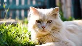 太陽光線 : Beautiful beige pedigreed cat lies in the grass and basks in the rays of the sun close-up, slow motion