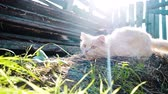 oyun alanı : Beige country cat predator hunts a mouse, prepares to jump and jumps in the sun, slow motion Stok Video