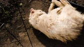 tlapky : Beige fluffy cat wallows in mud and basks in the sun, slow motion