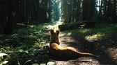 hiking trail : Dog lies and rests on a path in the woods in the summer under the suns rays Stock Footage