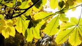 castaña : Sun rays shine between the leaves of chestnut, the camera movement close-up. Slow motion Archivo de Video