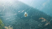 паукообразный : Cross spider weaves a web on a sunny day in nature in the summer.