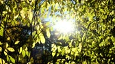 deciduous : Sun rays shine through aspen branches in the fall, camera movement bottom to top