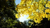 dry season : Yellow autumn maple leaves shining on the sun Stock Footage
