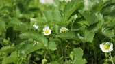 morangos : Ant crawls over a strawberry flower - a green plant sways in the wind in summer Vídeos