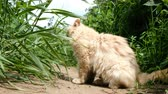 vitaminok : Beige cat sits on the sand and plays and eats grass in nature Stock mozgókép