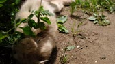 vitaminok : Beige cat lies in the sand and plays and plays with a blade of grass in nature, slow motion