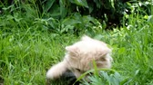 いたずらな : Beige cat playing with a plant in the grass, pet lying on the nature 動画素材