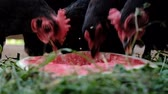 수박 : Chickens with red tufts pecking watermelon outdoors, slow motion 무비클립