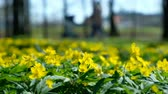 liget : Yellow flowers buttercup caustic in spring in the park amid a blurred family on a sunny day Stock mozgókép