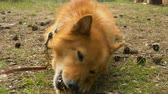 guloseima : Red dog on a leash lies in the woods and nibbles a treat in slow motion