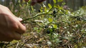 vitaminok : girl hand picks wild blueberries in forest extreme closeup