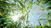 çayır : Green Summer Wheat Seen from Ground with Sun and Lens Flare Color Background HD Stok Video