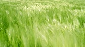 semear : Green Grass Field Waves Moved by Summer Wind Nature Crane Shot Background HD