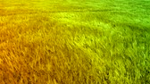 semear : Green Orange Wheat Autumn Field Waves Moved by Summer Wind Crane Shot Background