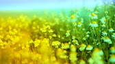çayır : Herbs and Chamomile Waved by Ocean Wind Yellow Blue Nature Background HD