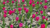 background : Beautiful colorful spring tulips swaying in the wind. 1080p full hd video footage Stock Footage