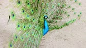 обращается : Peacock spreads its feathers and shakes its tail