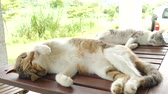 sleepy : sleeping cat lying on wooden desk in the outdoor Stock Footage