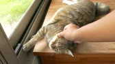 obezita : touch the lazy fat tabby cat sleep on the table