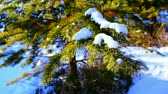 forest : Motion shot of pine tree in the winter snowy forest