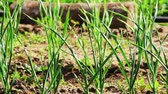 spring onion : Green shoots of garlic grows in the garden