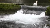 swan : A white swan swimming in the water Stock Footage