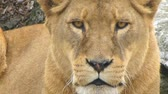male animal : A lioness looking straight to camera...