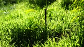 vento : green grass close-up