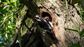 family great spotted woodpecker 3