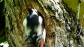 family great spotted woodpecker 4