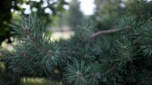 germogli : Pine branch in the summer on a warm, Sunny day. Filmati Stock