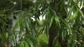 de faia : Green tree leaves closeup, weeping willow