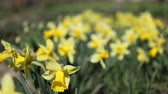 white narcissus : Yellow daffodils bloom in summer. Stock Footage