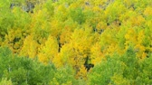 деталь : Fall Colors, Vibrant Aspen Trees