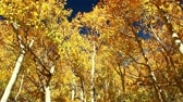 деталь : Colorful Fall Aspen Trees