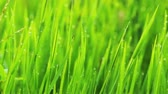 деталь : Close up of fresh grass with water drops in the early morning
