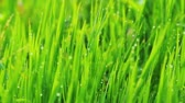 contraste : Close up of fresh grass with water drops in the early morning