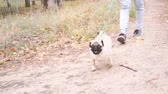 isteyen : Pug walks in the park. Happy puppy resting. The dog, enjoying nature Stok Video