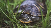 tartaruga : Green turtle in leaves. Green plants and striped tortoise looking at camera on blurred nature background
