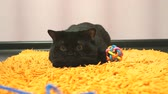 whiskers : British black cat is playing with a toy Stock Footage